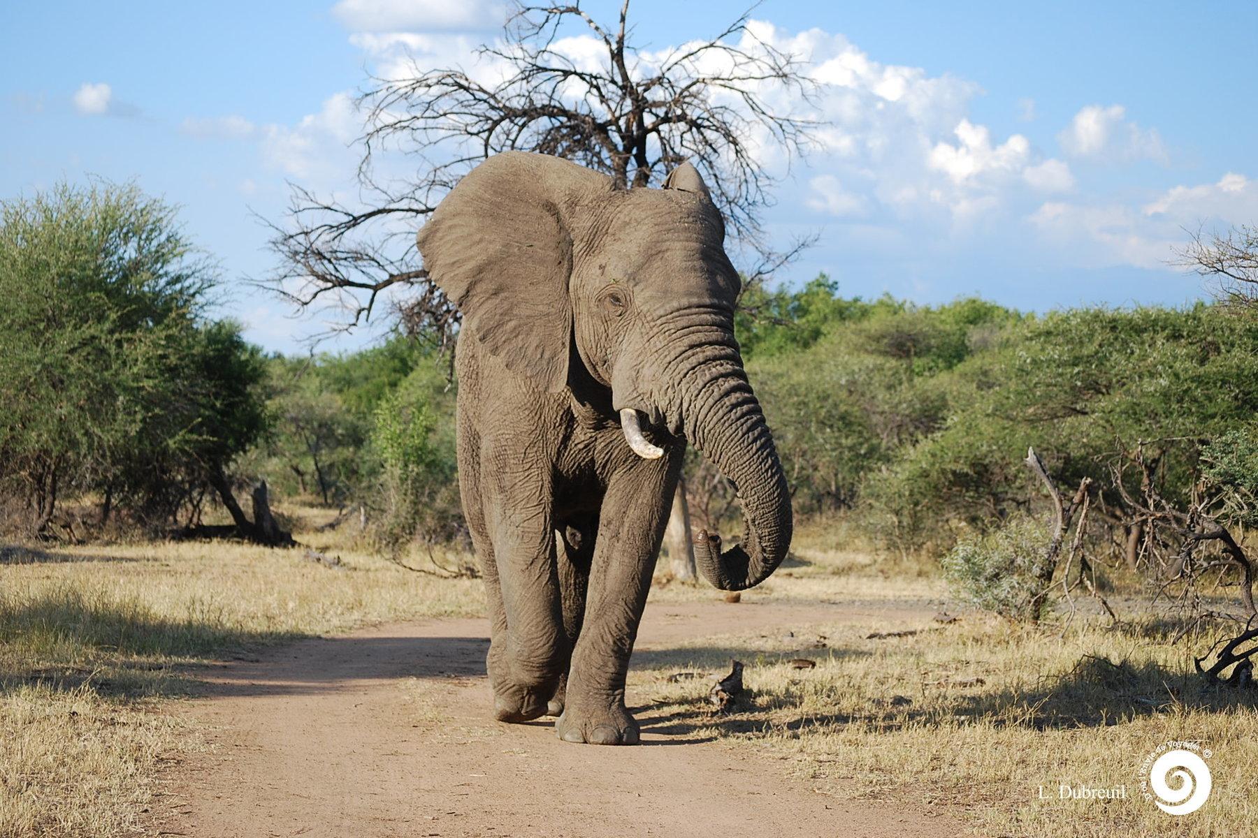 as_Elephant