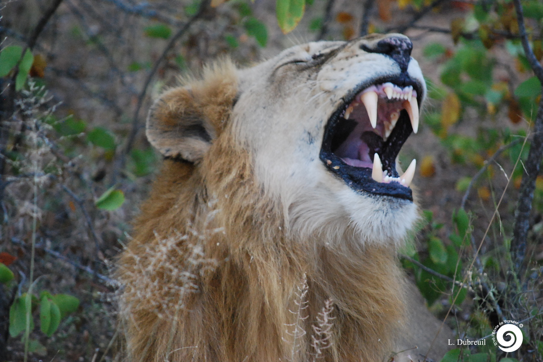 as_Lion (2)