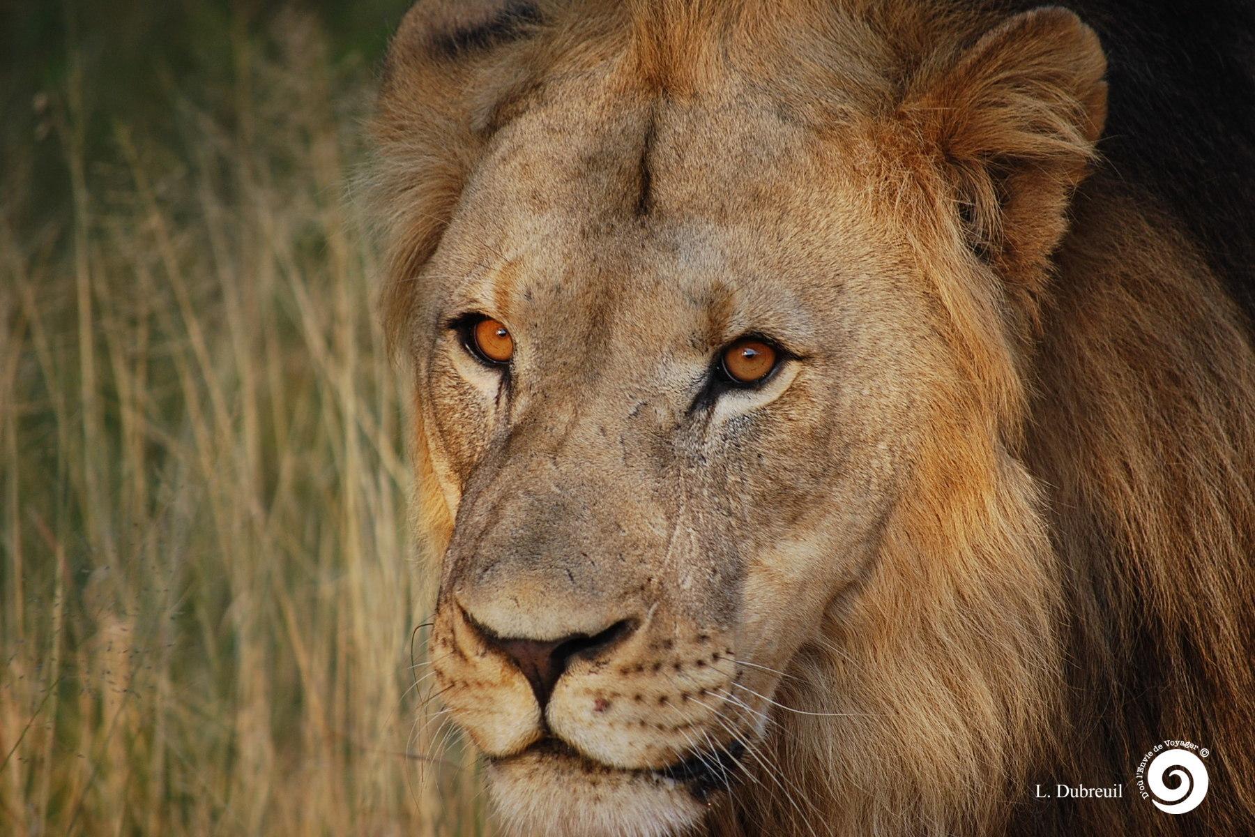 as_Lion